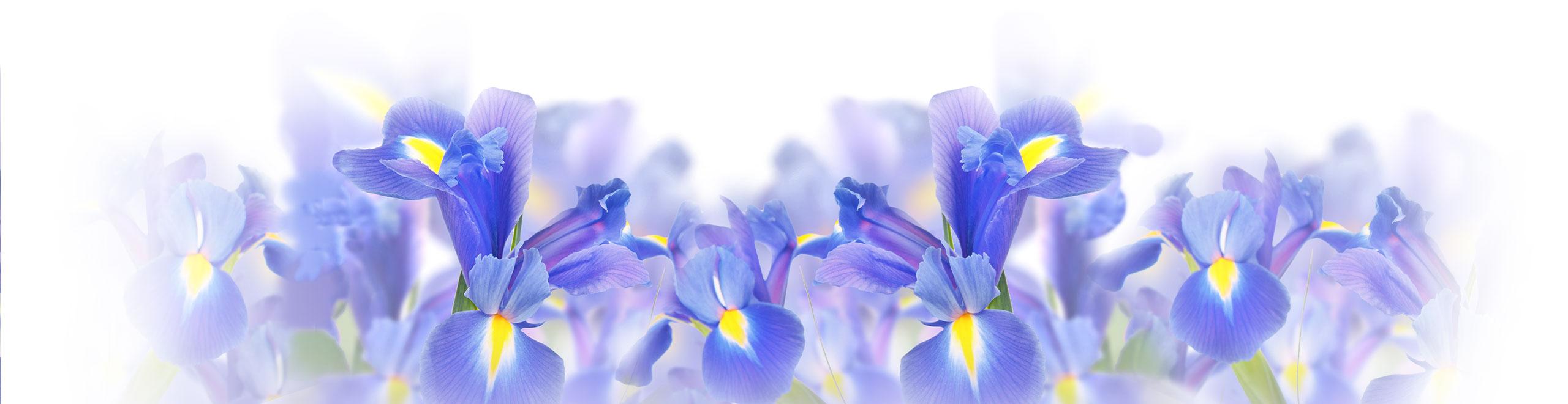 Fiori di Iris